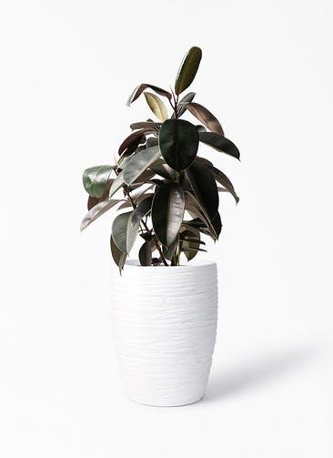 観葉植物 フィカス バーガンディ 8号 ノーマル サン ミドル リッジ 白 付き