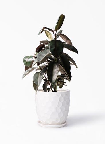 観葉植物 フィカス バーガンディ 8号 ノーマル サンタクルストール 白 付き