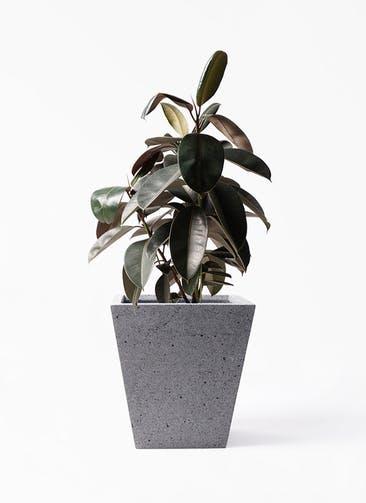 観葉植物 フィカス バーガンディ 8号 ノーマル スクエア ラテルストーン  付き