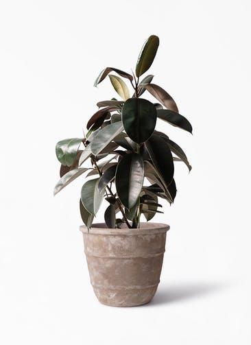 観葉植物 フィカス バーガンディ 8号 ノーマル テラアストラ シリウス 付き
