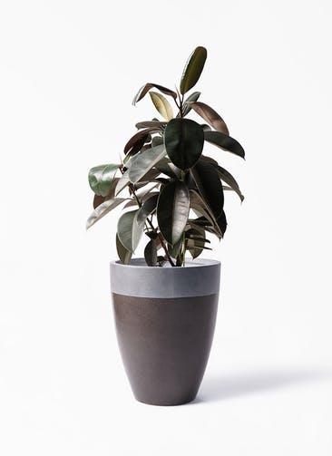 観葉植物 フィカス バーガンディ 8号 ノーマル ファイバーストーン カプリ マッドブラウン 付き