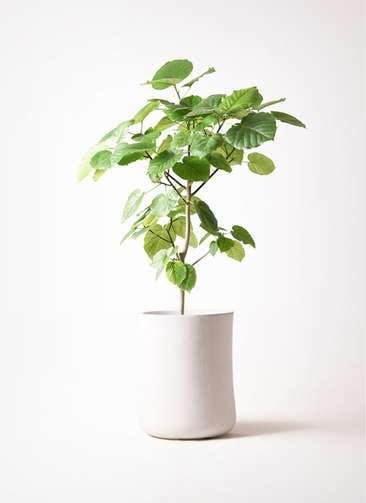 観葉植物 フィカス ウンベラータ 8号 ノーマル バスク ミドル ホワイト 付き