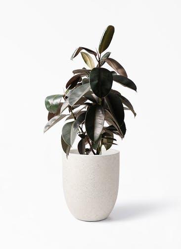 観葉植物 フィカス バーガンディ 8号 ノーマル フォリオアルトエッグ クリーム 付き