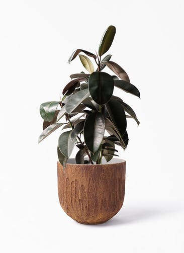 観葉植物 フィカス バーガンディ 8号 ノーマル バル ユーポット ラスティ  付き