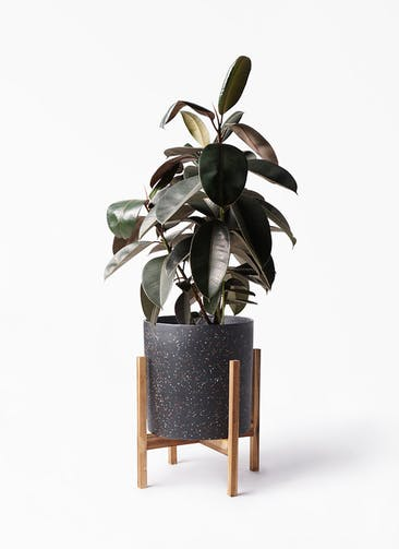 観葉植物 フィカス バーガンディ 8号 ノーマル ホルスト シリンダー スパークルブラック ウッドポットスタンド 付き
