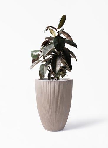 観葉植物 フィカス バーガンディ 8号 ノーマル リブラ モノ ブラウン 付き