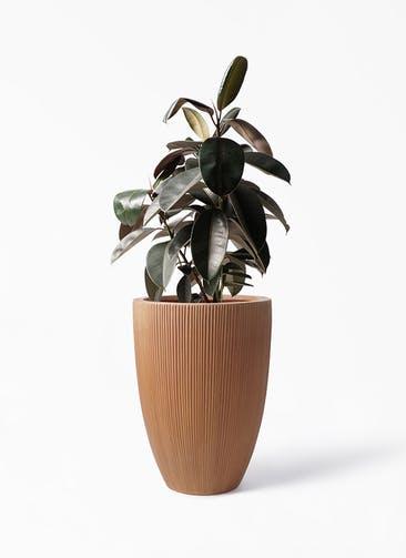 観葉植物 フィカス バーガンディ 8号 ノーマル リブラ モノ ラスティ 付き