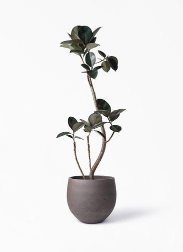 観葉植物 フィカス バーガンディ 8号 曲り アディラボウル 濃茶 付き
