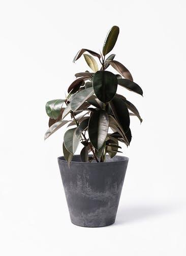 観葉植物 フィカス バーガンディ 8号 ノーマル アートストーン ラウンド ブラック 付き