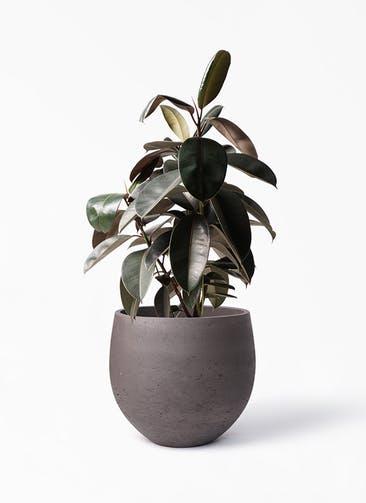 観葉植物 フィカス バーガンディ 8号 ノーマル アディラボウル 濃茶 付き