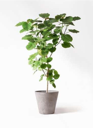 観葉植物 フィカス ウンベラータ 10号 ノーマル アートストーン ラウンド グレー 付き
