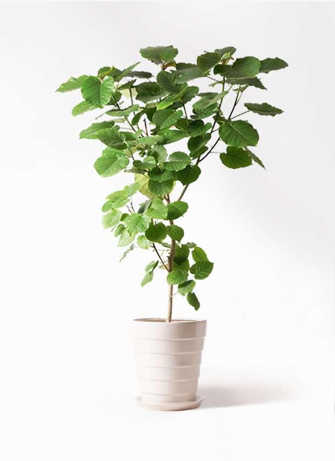 観葉植物 フィカス ウンベラータ 10号 ノーマル サバトリア 白 付き