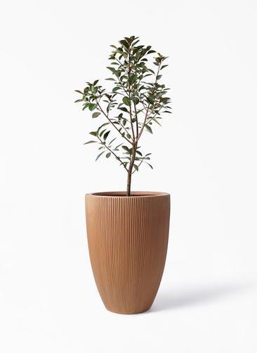 観葉植物 フランスゴムの木 8号 ノーマル リブラ モノ ラスティ 付き