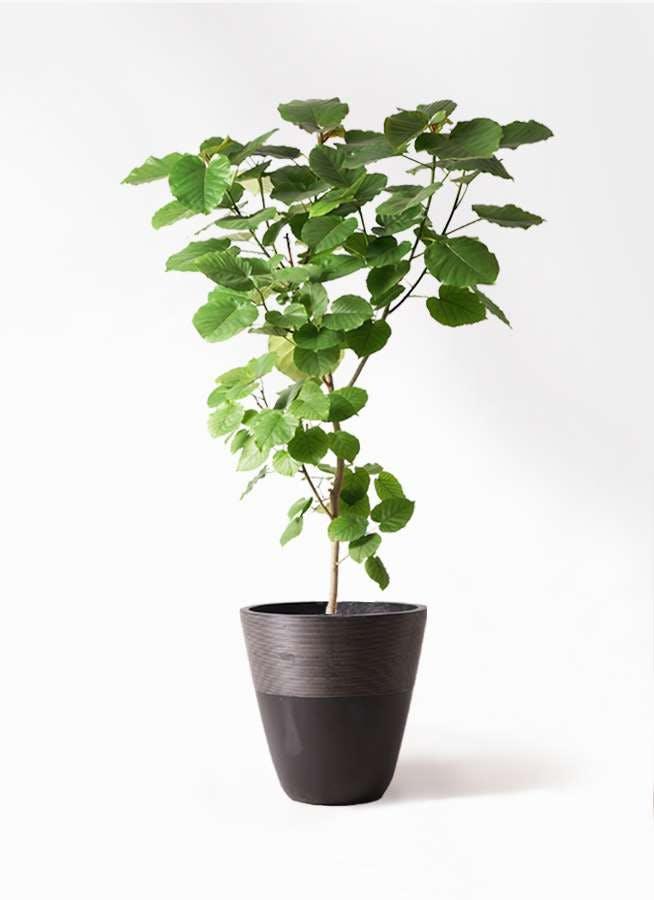 観葉植物 フィカス ウンベラータ 10号 ノーマル ジュピター 黒 付き