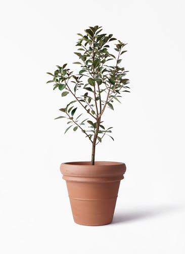 観葉植物 フランスゴムの木 8号 ノーマル トスカーナ リムポット 付き