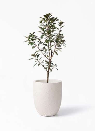 観葉植物 フランスゴムの木 8号 ノーマル フォリオアルトエッグ クリーム 付き