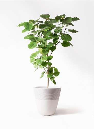 観葉植物 フィカス ウンベラータ 10号 ノーマル ジュピター 白 付き