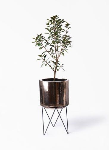 観葉植物 フランスゴムの木 8号 ノーマル ビトロ エンデカ ゴールド アイアンポットスタンド ブラック  付き