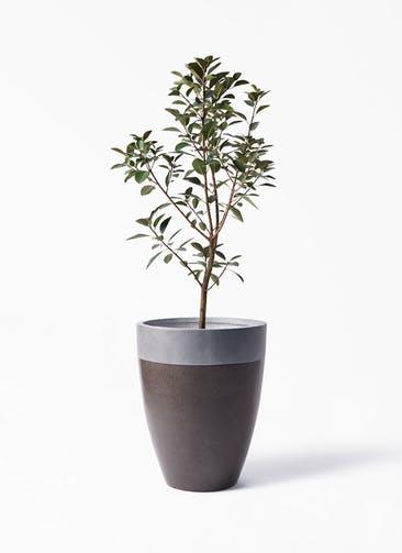 観葉植物 フランスゴムの木 8号 ノーマル ファイバーストーン カプリ マッドブラウン 付き