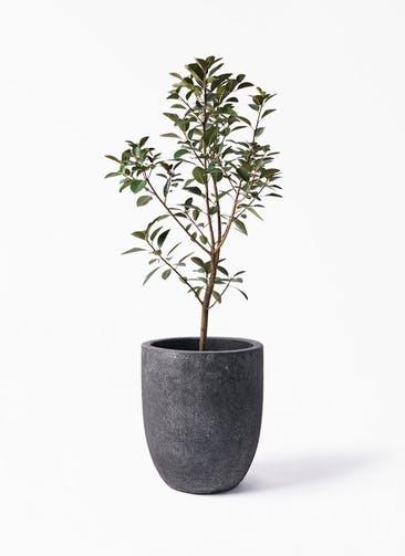 観葉植物 フランスゴムの木 8号 ノーマル フォリオアルトエッグ ブラックウォッシュ 付き