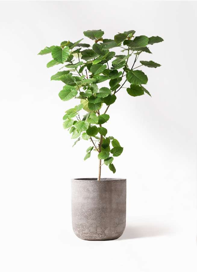 観葉植物 フィカス ウンベラータ 10号 ノーマル エルバ 白 付き