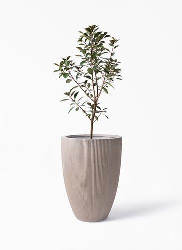 観葉植物 フランスゴムの木 8号 ノーマル リブラ モノ ブラウン 付き