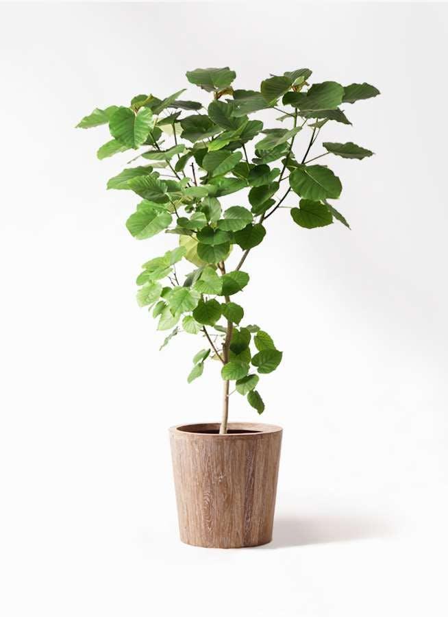 観葉植物 フィカス ウンベラータ 10号 ノーマル ウッドプランター 付き