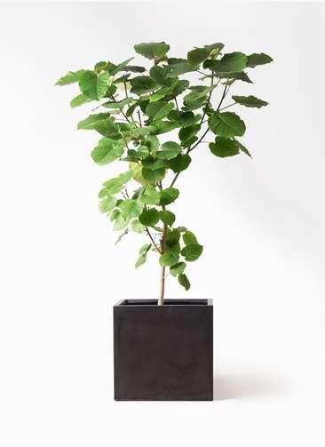 観葉植物 フィカス ウンベラータ 10号 ノーマル ファイバークレイ キューブ 付き