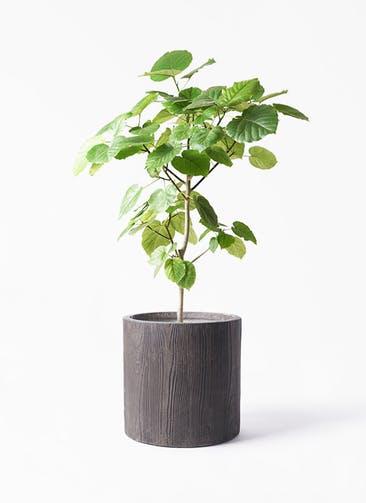 観葉植物 フィカス ウンベラータ 8号 ノーマル アルファ シリンダープランター ウッド 付き