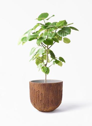 観葉植物 フィカス ウンベラータ 8号 ノーマル バル ユーポット ラスティ  付き