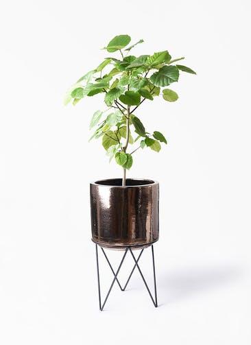 観葉植物 フィカス ウンベラータ 8号 ノーマル ビトロ エンデカ ゴールド アイアンポットスタンド ブラック  付き