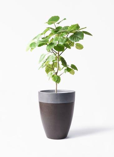 観葉植物 フィカス ウンベラータ 8号 ノーマル ファイバーストーン カプリ マッドブラウン 付き