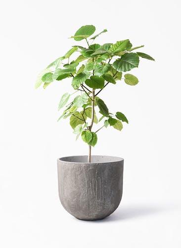 観葉植物 フィカス ウンベラータ 8号 ノーマル バル ユーポット アンティークセメント 付き