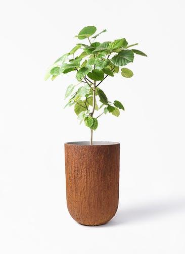 観葉植物 フィカス ウンベラータ 8号 ノーマル バル トール ラスティ 付き