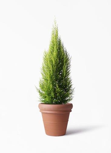 観葉植物 ゴールドクレスト 8号 ノーマル トスカーナ リムポット 付き