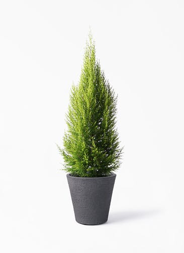 観葉植物 ゴールドクレスト 8号 ノーマル ビアスソリッド ブラック 付き