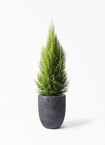 観葉植物 ゴールドクレスト 8号 ノーマル フォリオアルトエッグ ブラックウォッシュ 付き