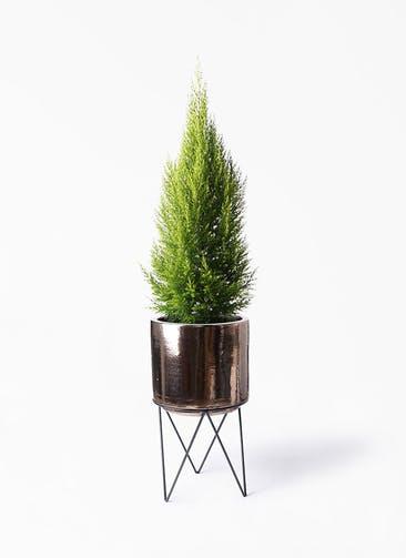 観葉植物 ゴールドクレスト 8号 ノーマル ビトロ エンデカ ゴールド アイアンポットスタンド ブラック  付き