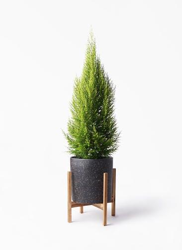 観葉植物 ゴールドクレスト 8号 ノーマル ホルスト シリンダー スパークルブラック ウッドポットスタンド 付き