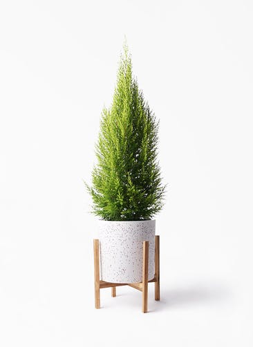 観葉植物 ゴールドクレスト 8号 ノーマル ホルスト シリンダー スパークルホワイト ウッドポットスタンド 付き