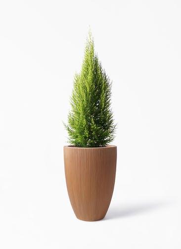 観葉植物 ゴールドクレスト 8号 ノーマル リブラ モノ ラスティ 付き