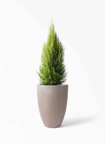 観葉植物 ゴールドクレスト 8号 ノーマル リブラ モノ ブラウン 付き