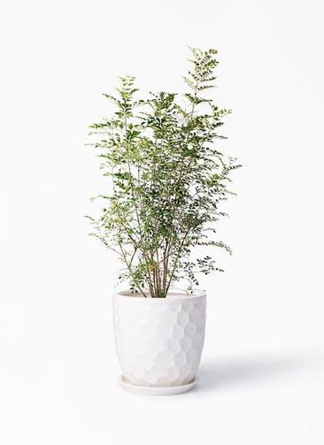 観葉植物 シマトネリコ 8号 サンタクルストール 白 付き