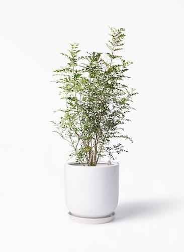 観葉植物 シマトネリコ 8号 アファール 白 付き