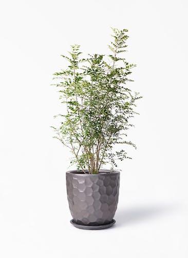 観葉植物 シマトネリコ 8号 サンタクルストール ブロンズ 付き