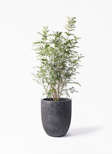 観葉植物 シマトネリコ 8号 フォリオアルトエッグ ブラックウォッシュ 付き