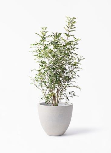 観葉植物 シマトネリコ 8号 スタウト アッシュラウンド 付き