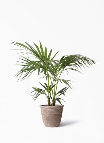 観葉植物 ケンチャヤシ 8号 テラアストラ シリウス 付き