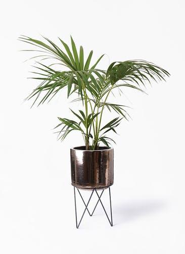 観葉植物 ケンチャヤシ 8号 ビトロ エンデカ ゴールド アイアンポットスタンド ブラック  付き