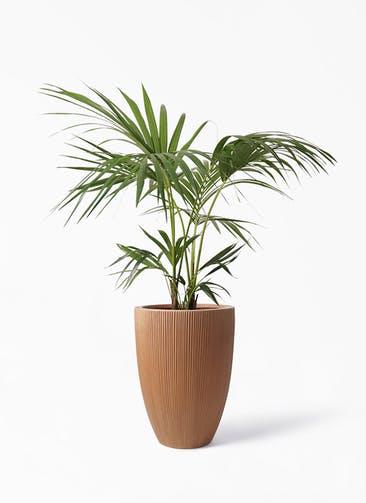 観葉植物 ケンチャヤシ 8号 リブラ モノ ラスティ 付き